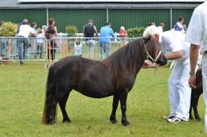 Een goed voor de jury opgestelde pony, de beenstanden zijn goed en de pony staat in een natuurlijke houding.