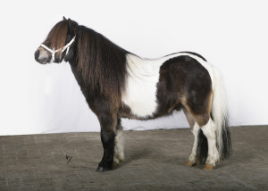 Falcao of Duke Stable (v. Y-Catcher v.d. Colorstable), bruinbont, maat 89 cm, pijpomvang 13 cm.